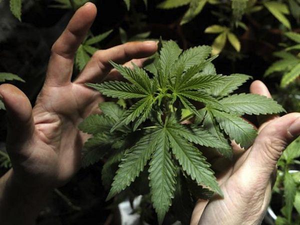 Cannabis between hands